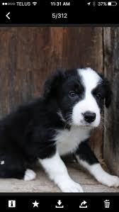 australian shepherd quesnel australian shepherd x border collie puppies dogs u0026 puppies for