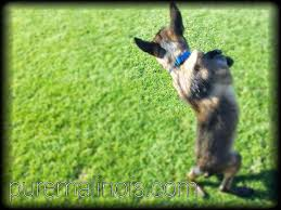 belgian sheepdog for sale in texas the 25 best belgian malinois breeders ideas on pinterest