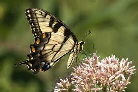 zenfolio photos by ed hass swallowtail butterfly eastern