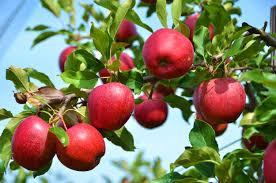 stayman winesap apple tree i o ison s nursery vineyard