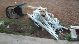dog caught in window blinds youtube