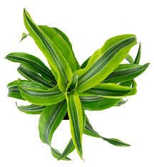 dracaena fragrans u0027lemon surprise u0027 4