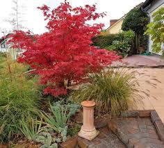 japanese maple tree facts u2013 lifespan of japanese maple trees