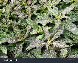 gynura pseudochina l dc trees ornamental stock photo 310222502