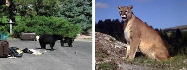 Are Bears Color Blind Black Bears And Mountain Lions