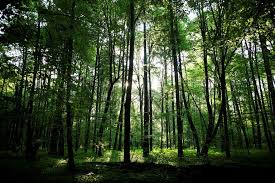 New York forest images Defying e u court poland is cutting trees in an ancient forest jpg