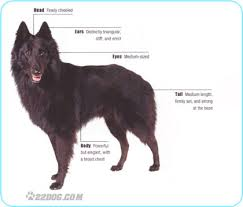 belgian shepherd dog temperament belgian shepherd dog pictures information care requirements and