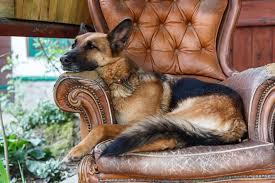 dogs that dig furniture petcha