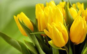 wallpaper bunga tulip tulip flower wallpaper 67 images