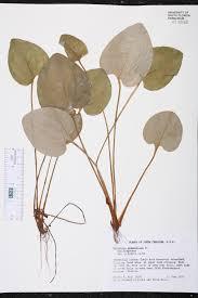 native plants of south carolina parnassia grandifolia species page isb atlas of florida plants