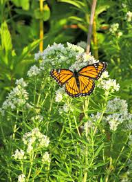 wisconsin native plants 7 actions to help insect pollinators help people wiscontext