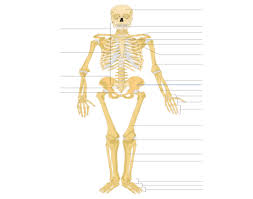 Anatomy And Physiology Labeling Appendicular Skeleton Labeling