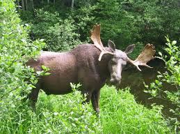 you asked we answered where u0027s the best place to see a moose in