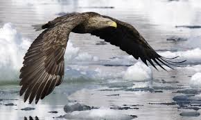 white tailed eagle facts pictures u0026 more about white tailed eagle