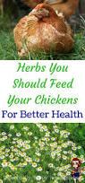best backyard chickens 6191 best homestead critters images on pinterest raising