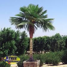 a spec skinned windmill palm tree