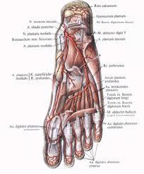 Foot Vascular Anatomy 1