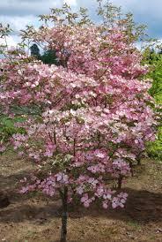 stellar pink dogwood trees for sale kansas city mo