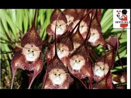 monkey orchid monkey orchids exhibit in fukushima attracting tourists officials
