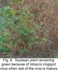 Symptoms Of Viral Diseases In Plants - soy009 soybean viruses