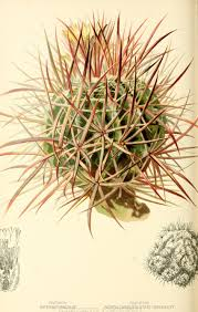 native victorian plants many headed hedgehog cactus in the native flowers and ferns of
