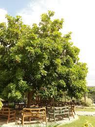 Ackee Fruit Tree - trees trees that feed foundationtrees that feed foundation