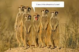 Mere Cat Meme - i see a little silhouette of a man soloist meerkat quickmeme
