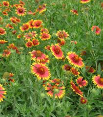 texas native plants indian blanket watershed texas