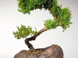 tiny trees for bonsai southern living