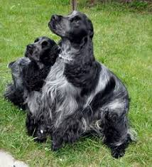 belgian sheepdog breeders in canada tervfect reg u0027d belgian shepherd dogs and shetland sheepdogs