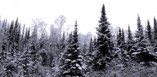 Cutting Christmas Tree - cutting a christmas tree in the maine woods wilderness realty