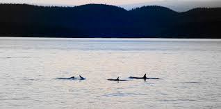 kayaking with killer whales u2013 right out of the swiss family