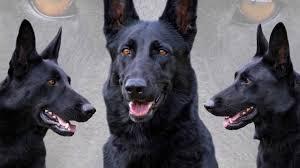 belgian shepherd ears stand up 46 best black german shepherd pictures