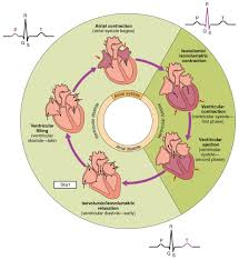 19 3 cardiac cycle anatomy and physiology