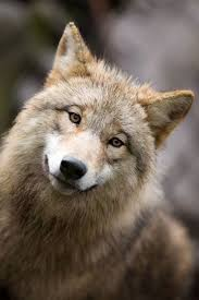 Can Coyotes See Red Light 5000 Best Wolf Coyote World 2 Images On Pinterest Wolves