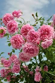 116 best roses u0026 flowers images on pinterest garden roses