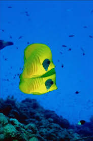 coral reef fish names butterfly fish reef kjersti schmerer via