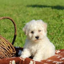 bichon frise shih tzu mix for sale puppies for sale in pa