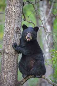 Tennessee wildlife images Kingsport times news twra probes kingsport bear shooting i 26 jpg