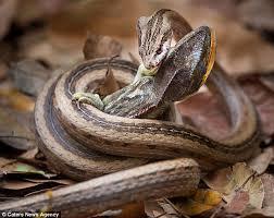 Madagascar Blind Snake Snake Vs Chameleon Moment Savage Serpent Strikes Defenceless
