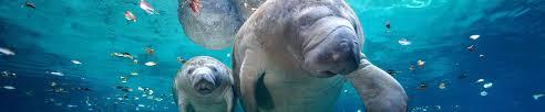 manatee ocean conservancy