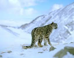 Photos Of Snow Snow Leopards Wwf