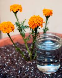 the effect of acid rain on marigold plants science project