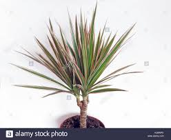 dracaena slow growing flowering container plant dracaena marginata or red