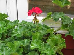 red flowering house plants interior design
