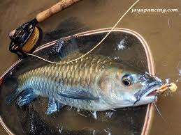 Umpan Mancing umpan mancing ikan tombro liar jaya pancing aquatic essen medium
