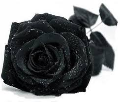 black flower black flower 10 seeds black flower seeds and
