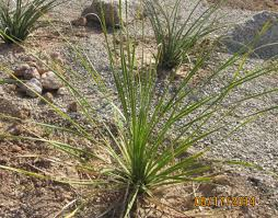 plants native to arizona grasses u2013 arizona desert xeriscape