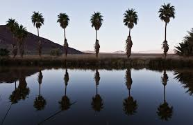 southern california palm trees history species guide install