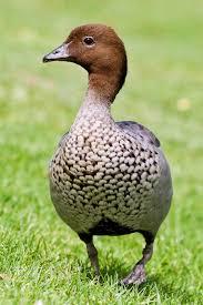 australian wood duck wikipedia